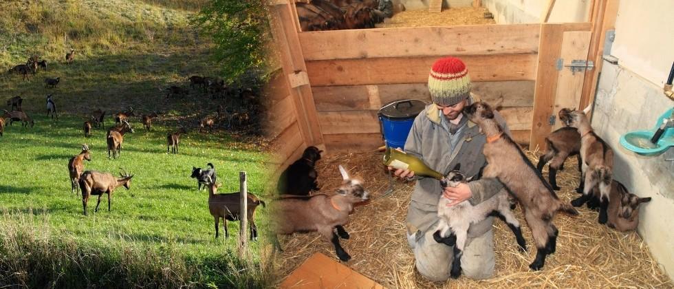 Ferme des Maquis Elevage de chèvres
